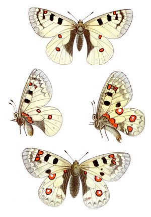 Parnassius phoebus - From Jacob Hübner's Das kleine Schmetterlingsbuch