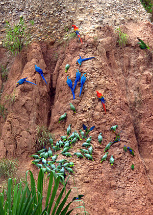 Geophagia - Parrots eating earth