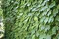 Parthenocissus tricuspidata Ginza Lights 0zz.jpg