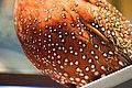 Partridge breast feathers (38374131644).jpg