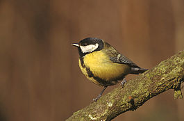 Parus major 1 (Marek Szczepanek).jpg