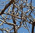Parus niger, Waterberg.jpg
