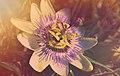 Passiflora caerulea vue d'artiste.jpg