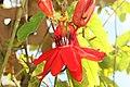 Passiflora coccinea 6zz.jpg