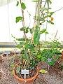 Passiflora coriacea - Copenhagen Botanical Garden - DSC07370.JPG