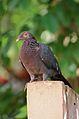 Patagioenas squamosa in Barbados a-03.jpg