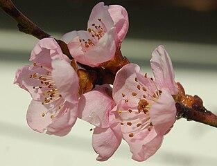 Kvety broskyne