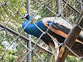 Peacock-Thiruvananthapuram-Zoo.jpg