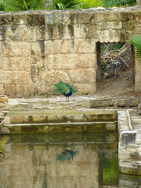 File:Peacock - panoramio (3).jpg