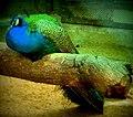 Peafowl taking rest.jpg