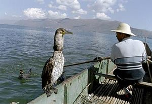 Cormorant fishing - Chinese fisherman with one of his cormorants on Erhai Lake near Dali, Yunnan. The bird's throat snare is visible via the constriction in the bird's neck.