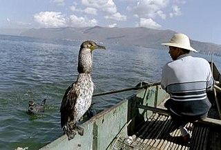 Cormorant fishing Fishing using trained cormorants to catch large fish