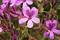 Pelargonium cucullatum (1).jpg