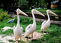 Pelecanus onocrotalus -London Zoo, England-8a.jpg