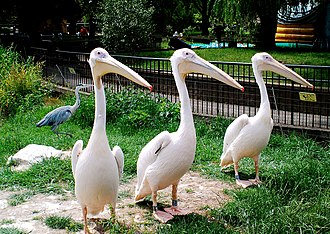 London Zoo - Three great white pelicans in their enclosure