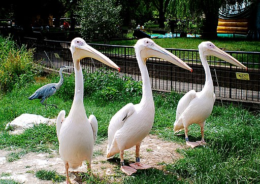Pelecanus onocrotalus -London Zoo, England-8a