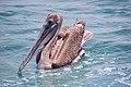 Pelican in Galápagos islands.jpg