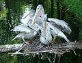 Pelikannest mit Jungtieren.jpg