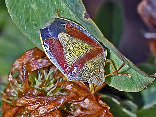 <i>Piezodorus lituratus</i> Species of bug