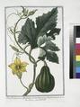 Pepo fructu parvo, Pyriformi. Cucurbita aspera Pyriformis, parva - Zucca - Citrouille. (Pumpkin) (NYPL b14444147-1124994).tiff