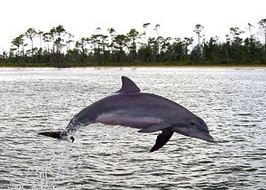 Perdido Bay - A dolphin at Perdido Bay, near Orange Beach, Alabama