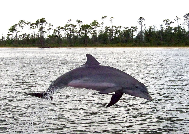 bottlenose dolphin near Alabama