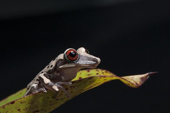Perereca-de-capacete - Aparasphenodon brunoi.jpg
