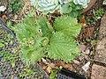 Perilla frutescens (L.) Britton (AM AK311862-1).jpg
