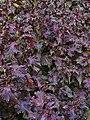 Perilla frutescens var. crispa 001.jpg