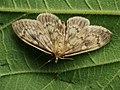 Perinephela lancealis (25971333847).jpg