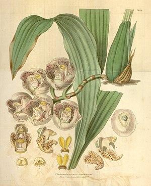 Valentine Bartholomew - Illustration of Peristeria pendula by Valentine Bartholomew, 1836
