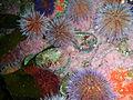 Perlemoen and sea urchins at Castle Rocks P7260824.JPG