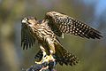 Perlin on falconry glove.jpg