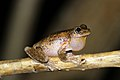 Perons Tree Frog (Litoria peroni) (8397008543).jpg