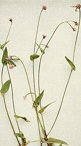 Persicaria sagittata WFNY-048A.jpg