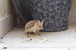 Pet Paraechinus aethiopicus (Desert Hedgehog) from the Kurdistan Region of Iraq, at lunchtime 01.jpg