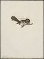 Petroica macrocephala - 1700-1880 - Print - Iconographia Zoologica - Special Collections University of Amsterdam - UBA01 IZ16200370.tif