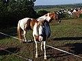Pferde auf der Weide bei Breitenholz.jpg