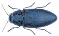 Phaenops cyanea (Fabricius, 1775).png