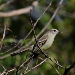 Phaeomyias murina-Mouse-colored Tyrannulet.jpg