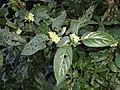 Phaulopsis imbricata, Burmanbos.jpg