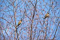 Photo of the Week- Cedar Waxwing (6967251305).jpg