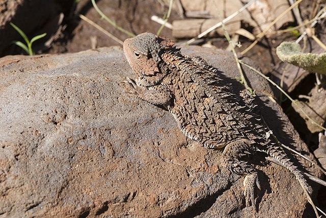 greater short-horned lizard