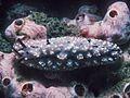 Phyllidiopsis pipeki (2).jpg