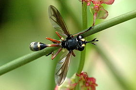 Physocephala.rufipes.jpg