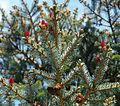 Picea jezoensis hondoensis foliage cones.jpg