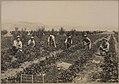 Picking strawberries Mr Pyiiuui's orchard, Kelow-na, British Columbia (HS85-10-21212).jpg