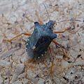 Picromerus bidens. Spiked Shield Bug - Flickr - gailhampshire.jpg