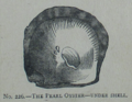 Picture Natural History - No 226 - The Pearl Oyster.png