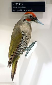 Picus awokera - National Museum of Nature and Science, Tokyo - DSC07070.JPG